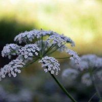 Полевые цветы :: Татьяна Ларионова