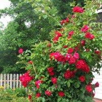Плетистая роза цветёт :: sm-lydmila