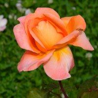 Роза! :: ирина