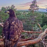 Орлан-белохвост :: Андрей Кротов