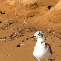 Гуляла чайка по пляжу-у-у... :: Александр Беляков