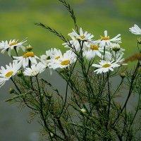 Полевые цветы.. :: олег свирский
