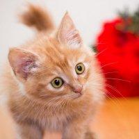 ЛАСКА, Центр помощи кошкам на Сахалине https://vk.com/laskasakhalin.  Рыжик :: Margarita Ласковая