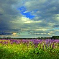 Люпиновое поле :: Lusi Almaz
