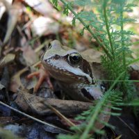 портрет лягушки :: sv.kaschuk