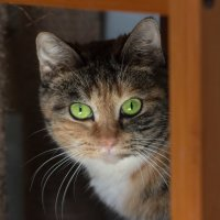 ЛАСКА, Центр помощи кошкам на Сахалине https://vk.com/laskasakhalin. Оливия :: Margarita Ласковая