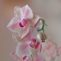 Расцвела орхидея моя! :: Наталья