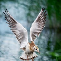 Чайка :: Александр Иващин