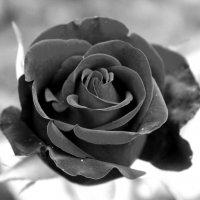 Чёрная Королева :: Колибри М