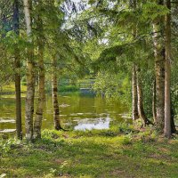 Средь берез и сосен... :: Sergey Gordoff