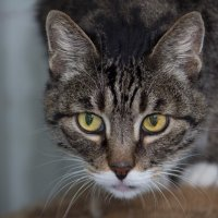 ЛАСКА, Центр помощи кошкам на Сахалине https://vk.com/laskasakhalin.  Дедуля :: Margarita Ласковая