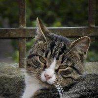 Кот на отдыхе. :: Александр Кемпанен