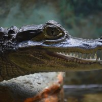 Крокодиловый кайман... :: Наташенька *****