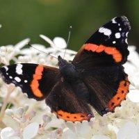 Бабочка и гортензия. :: Irina Fabien