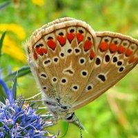 Голубянка бурая. :: vodonos241