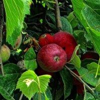в соседском саду яблоки слаще... :: Александр Корчемный