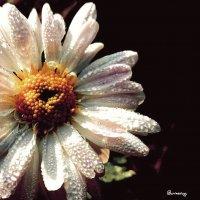 Портреты цветов... Хризантема... Portraits of flowers... Chrysanthemum... :: Сергей Леонтьев