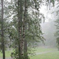 Вид  из  окна.Березы  в  окружение  холодного  дождя. :: Eva Tisse