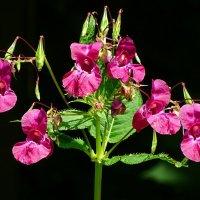 Полевые цветы июля :: Милешкин Владимир Алексеевич