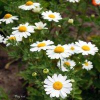 Ромашковая дорожка в лето... :: Тамара Бедай