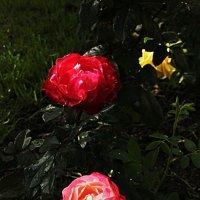 розы :: Сергей Кочнев