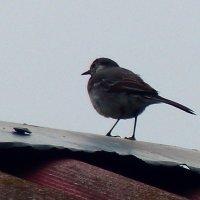 птичка на крыше-1. :: Пётр Беркун