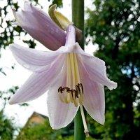 Цветок хосты! :: ирина