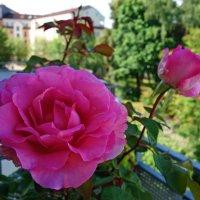 Нежность...на моём балконе... :: Galina Dzubina