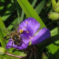 пчела IMG_1262 :: Олег Петрушин