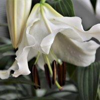 Белая лилия на балконе :: Marina Pr. **