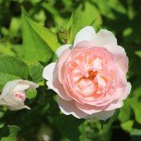 Роза Pink Peace :: Наталья Герасимова