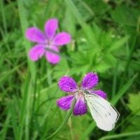 Выбор бабочки :: Ирина Via