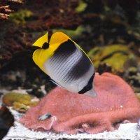 Тихоокеанская двухседельная рыба-бабочка :: Константин Анисимов
