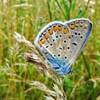 *Polyommatus icarus (Rottemburg, 1775) - Голубянка икар :: vodonos241
