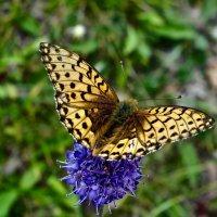 Шведская бабочка :: Елена