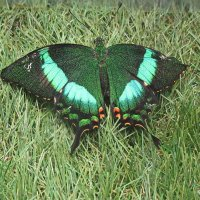 Бабочка Papilio palinurus :: Tamara