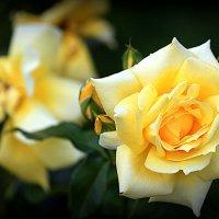 золотая или  желтая краса :: Олег Лукьянов