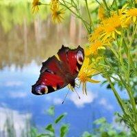 Бабочка над водой :: Александр Бойченко