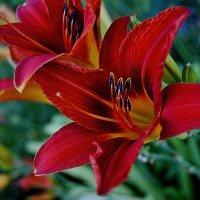В моем саду цветет лилейник :: Валентина