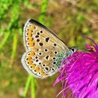 *Голубянка икар, или голубянка Икар (лат. Polyommatus icarus) . Самка. :: vodonos241