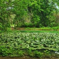 Кувшинковое озерцо в ботаническом  саду :: Светлана