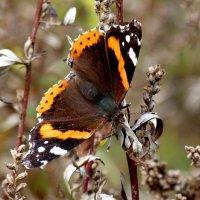 и снова бабочки  4 :: Александр Прокудин