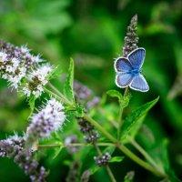 Бабочка на мяте :: Константин
