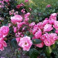 Царскосельские парковые розы. :: Татьяна