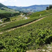 художество виноградников региона Божоле (Beaujolais) :: Георгий