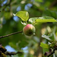 Яблоки летят :: Владимир Филимонов