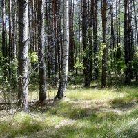 березвый лес :: Владимир