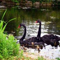 Лебеди на озере в Саду роз королевы Марии :: Тамара Бедай