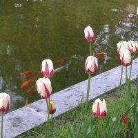 Рыбки и тюльпаны :: demyanikita