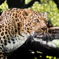 Переднеазиатский леопард :: олег